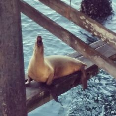 Santa Cruz CA: Sea lions at Santa Cruz by sometimesiveg