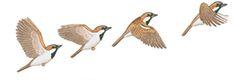 Bird Flight - How Birds Fly