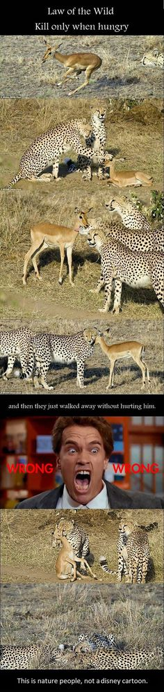 I've seen the above pics before and thought there's no way they spent all that work chasing that impala down just to mess with it and let it go. Clearly those were youngsters keeping it alive long enough to play and master they're skills and cool off before eating it.