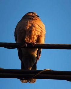 オレンジ色の春を 鱗羽毛の中に パンパンに溜め込んでる子。   #pigeon #bird #鳩 #鳥