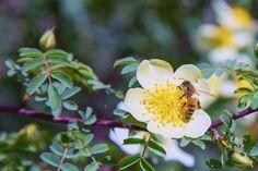 Mehiläinen, Pölytys, Siitepöly, Hyönteinen, Luonne