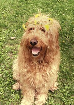 Hippie golden doodle dog Oscar! Golden Doodle Dog, Golden Doodles, Dog Love, Puppy Love, Mini Goldendoodle, Labradoodles, Crazy Dog Lady, Duffy, Mixed Breed