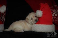 Cut Labrador Retriever Puppy laying on the Santa hat
