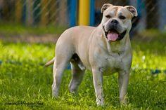 Perro de Presa Mallorquin, Ca de Bou, Mallorquin Mastiff, Mallorquin Bulldog