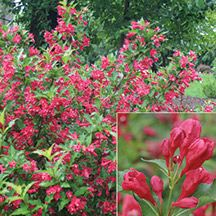 Sonic Boom Weigela- One of the best reblooming weigelas available on the market. Rounded 4 to 5 foot shrubs explode with lipstick red blooms in May and then continue to send out bursts of blooms throughout the summer until frost no deadheading needed. Rich green foliage provides a perfect backdrop for the showy blooms adored by hummingbirds. Perfect for foundation plantings and shrub borders. Very adapatable.