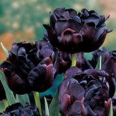 Tulip - Black Hero.  For more on planting Spring Bulbs - check this out http://www.my-garden-school.com/course/planting-spring-bulbs/