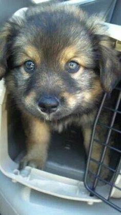 #German #Shepard ♥♥♥ sweet #pup