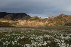 Arctic Cotton in Landmannalaugar