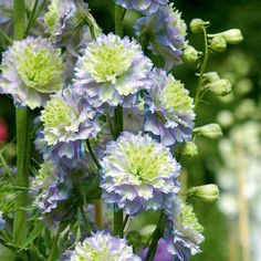 Delphinium Highlander Crystal Delight -- the Brits have all the best flowers. Large Flowers, Real Flowers, Beautiful Flowers, Landscape Nursery, Perennial Bulbs, Cottage Garden Plants, Cottage Gardens, Plants Delivered, Delphiniums