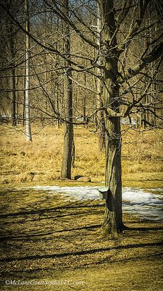 When 1st of spring arrives you can be sure to see buckets on the Maple trees ready to catch the sweet sap that will later be boiled down to make Maple syrup. Willcott Mill Ray Michigan