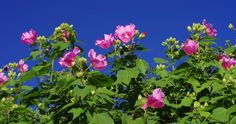 The Confederate rose (a member of the hibiscus family, not a rose). Signature flower of the Darling Dahlias Book 3.