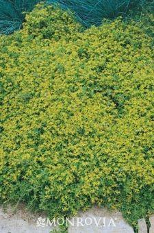 Utah Stonecrop (Sedum Utah) - Monrovia - Utah Stonecrop (Sedum Utah); full sun and 2-4 inches tall, 8-12 inches wide; attracts butterflies and drought tolerant. yellow flowers in summer but green foliage