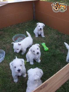 west highland terriers   Rotherham, South Yorkshire   Pets4Homes - http://amzn.to/2h50xSk