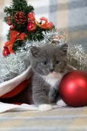 christmas cats and kittens - Google Search