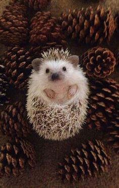 Super cute hedgehog story created on Steller by - Cutest Baby Animals Baby Animals Pictures, Cute Animal Pictures, Animals And Pets, Funny Animals, Cutest Animals, Animal Pics, Hedgehog Pet, Cute Hedgehog, Baby Animals Super Cute