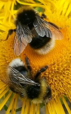 Taken by KA White. Ich bin so dankbar, dass wir . - Broomley Grange bee garden… Taken by KA White… Ich bin so dankbar, dass wir sie haben, unsere k - Beautiful Creatures, Animals Beautiful, Animals Tattoo, Foto Macro, Buzzy Bee, I Love Bees, Bees And Wasps, Bee Friendly, Beautiful Bugs