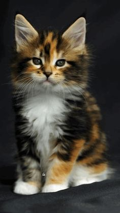 65 Ideas Cats Breeds Calico Maine Coon For 2019 Cute Baby Cats, Cute Cats And Kittens, Cute Funny Animals, Cute Baby Animals, Cool Cats, Kittens Cutest, Funny Kittens, Pretty Cats, Beautiful Cats