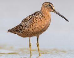 Short-billed Dowitcher  Limnodromus griseus  Common migrant and winter resident