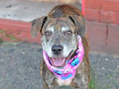TO BE DESTROYED - 09/06/14 Brooklyn Center -P  My name is SASHA. My Animal ID # is A1011762. I am a female br brindle and white pit bull mix. The shelter thinks I am about 10 YEARS old.  I came in the shelter as a OWNER SUR on 08/24/2014 from NY 11233, owner surrender reason stated was LLORDPRIVA. I came in with Group/Litter #K14-191546.