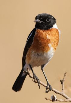 African Stonechat, Saxicola torquatus -- male -- at Rietvlei Nature Reserve, South Africa | by Derek Keats