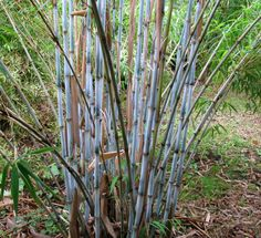 Borinda papyrifera  Height: 16 to 25 feet   Diameter: 2 inches   Hardiness: 15° F  USDA zone 8 through 9, not for climates with high heat and humidity (southeastern states).