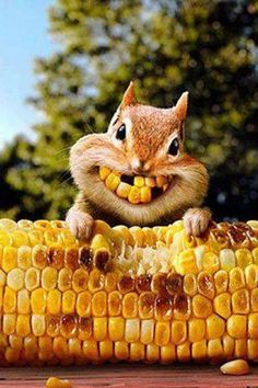 Corny squirrel bright smiles for Thanksgiving Cute Funny Animals, Funny Animal Pictures, Funny Cute, Animal Pics, Funny Squirrel Pictures, Funny Pics, Dental Humor, Seriously Funny, Tier Fotos