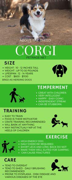 Fast Facts Infographic about this amazing dog breed size training temperament training and care. dog Fast Facts Infographic about this amazing dog breed size training temperament training and care. Corgi Breeds, Corgi Dog Breed, Pembroke Welsh Corgi Puppies, Samoyed Dog, Corgi Mix, Pomeranian Puppy, Beagle Dog, Dressage, Dog Boarding Kennels