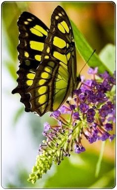 ~~butterfly by barryed~~: Beautiful Butterflies, Butterfly Bush, Butterflies Insects, Flutterby, Photo Butterfly Kisses, Butterfly Flowers, Butterfly Wings, Butterfly Bush, Purple Flowers, Butterfly Pictures, Green Butterfly, Beautiful Bugs, Beautiful Butterflies