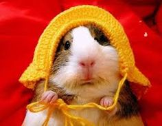 Guinea Pig Names – There are few pets as cute and cuddly as a guinea pig, so we totally understand your excitement if you are in the process of getting one. Guinea pigs are becoming an increa… So Cute Baby, Cute Baby Animals, Funny Animals, Animal Funnies, Animals Images, Funny Hamsters, Wild Hamsters, Cute Guinea Pigs, Funny Cute