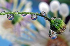 . dew drops