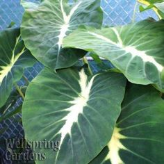 Elephant Ear - Colocasia 'Nancyana' LIVE PLANT Green tropical garden