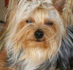 Yorkies, looks like my Little Lady Canty Bear RIP :( Cute Puppies, Cute Dogs, Dogs And Puppies, Doggies, Corgi Puppies, Schnauzers, Shih Tzu, Yorkies For Sale, Yorky
