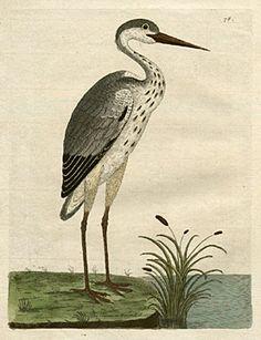 The common heron I Eleazer Albin I A Natural History of Birds I 1731