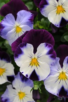24 Shades of Pansy To Brighten Cool-Weather Gardens --> http://www.hgtvgardens.com/photos/flowering-plants-photos/pansies-the-gardens-happy-face?s=1&soc=pinterest
