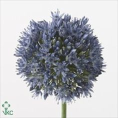 Allium Caeruleum are also known as ornimental onions. Their spherical blooms are made up of tiny blue flowers - 70cm tall & wholesaled in 20 stem wraps.