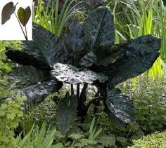 "Alocasia Plant ""Nigra"" Elephant Ear NEW floridahillnurser... https://www.amazon.com/dp/B017VLZX20/ref=cm_sw_r_pi_dp_x_8XpSxb9RBFHGH"