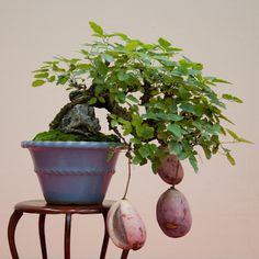 Akebia bonsai...simply amazing