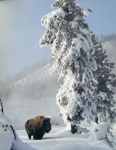 Love this picture of the snow & bison.but feel for the bison in winter. Beautiful Creatures, Animals Beautiful, Buffalo S, Winter Schnee, American Bison, Winter Pictures, Mundo Animal, Winter Beauty, All Gods Creatures