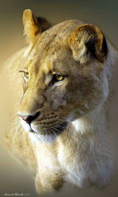 lioness by photoflacky on DeviantArt. Female feline power & dignity.