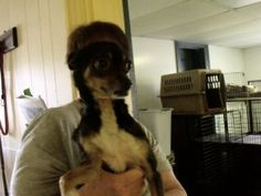 Taco is an adoptable Chihuahua Dog in Eden, NC. Taco is a cute little, 2 year old male Chihuahua mx dog, now available for adoption at the Rockingham County Humane Society Shelter, 205 Boone Road in E...