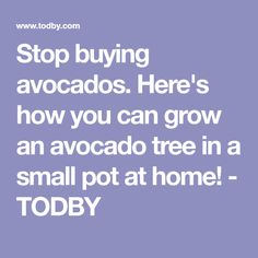 Stop buying avocados. Here's how you can grow an avocado tree in a small pot at home! - TODBY