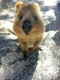Quokkas The Happiest Animal That Might Steal Your Heart - 15 photos that prove quokkas are the happiest animals in the world