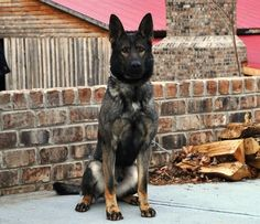 German Shepherd Puppies Canine Protection Dog for Your Home. Thinking ill train my next dog in protection. - You probably already realize the benefits associated with having a protection dog around the house. However, what's the difference between Malinois, Schaefer, Military Dogs, German Shepherd Dogs, German Shepherds, Black Sable German Shepherd, Black Shepherd, Golden Retriever, Dog Training