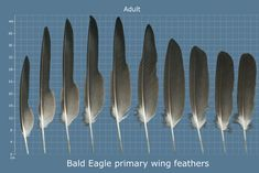 The Feather Atlas - Feather Identification and Scans - U. Fish and Wildlife Service Forensics Laboratory Bird Wings, Forensics, Spirit Animal, Bald Eagle, Feathers, Wildlife, Fish, Jewels, Animals