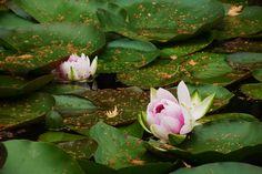Lily Pad Lotus Flower - Richmond BC