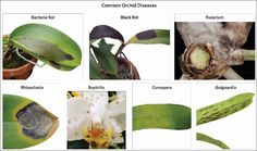 There are several diseases that can affect your orchids'. Identifying the particular disease on your orchid is necessary to controlling it properly. This chart shows some of the diseases most often observed on orchids. Read below for more information about each disease and how to eliminate it.