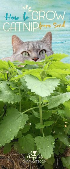 Cat Nutrition Facts how to grow catnip from seed - Catnip is one of the most beloved of plants that cats find irresistible and humans love in a tea. Find out how easy it is to grow this wonder herb. Cat Care Tips, Pet Care, I Love Cats, Cool Cats, Growing Catnip, How To Grow Catnip, Outdoor Cat Tree, Cat Friendly Plants, Catnip Plant