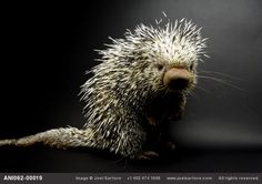 "The  Brazilian porcupine (Coendou prehensilis) is an arboreal porcupine with a spineless prehensile tail with an upturned tip and 4 long clawed toes well adapted for gripping branches. It measures up to 40"" in length, half of that being tale. If caught, it rolls up in to a ball. via http://en.wikipedia.org/wiki/Brazilian_Porcupine  Photo by joelsartore. #Brazilian_Porcupine #Porcupine #joelsartore #wikipedia"