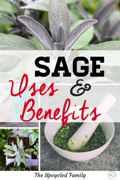 Sage growing in your garden. The benefits of sage surpass that of simply culinary uses. Sage benefits and uses for both food and medicine. #medicinalherbs #sage #sageuses #sageplant #growingsage #herb #sagebenefits #gardenherbs Healing Herbs, Medicinal Plants, Herbal Plants, Herbal Teas, Herbal Oil, Herbs For Health, Health Tips, Health Foods, Herbal Remedies
