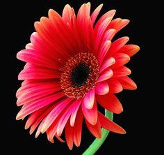 april birth flower-maybe a cute tat!!!